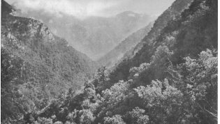 Primeval forest in the Sho-ekwara valley near Gagra. (from the article)